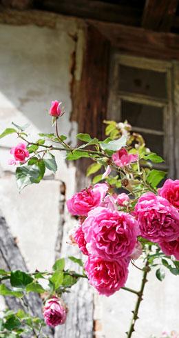 Rosen umranken ein altes Haus